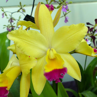 Cattlianthe CSO Hing = Cattleya Tokyo Magic X  Cattlianthe Crystal Star 'Ellen Lee'