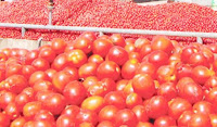 Tomato price has gone high in Kano markets