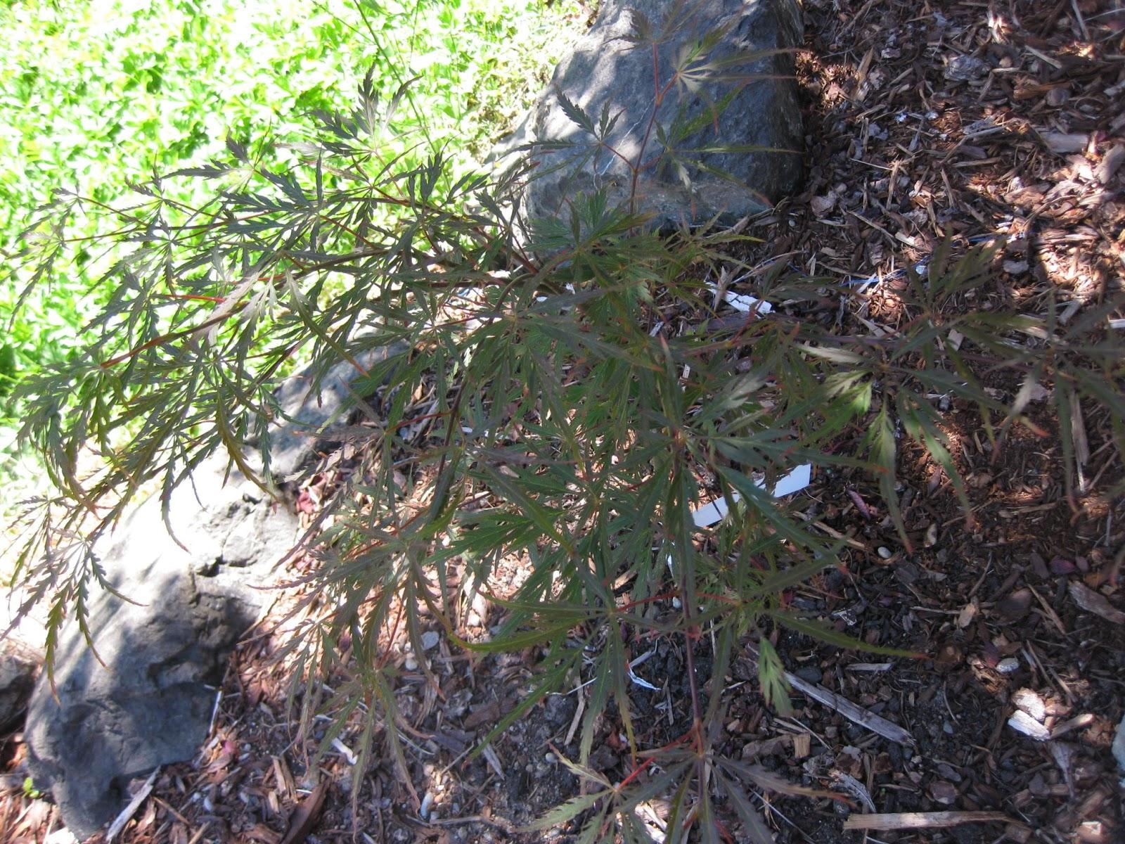 Marys Maples Acer Palmatum Autumn Fire