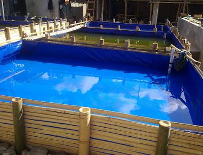 Budidaya Ikan Toman Di Akuarium dan Kolam Terpal