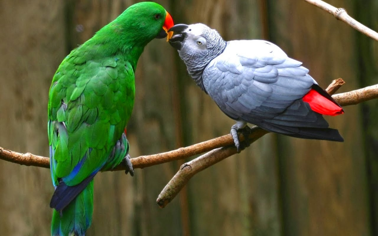 Best Food For African Gray Parrots