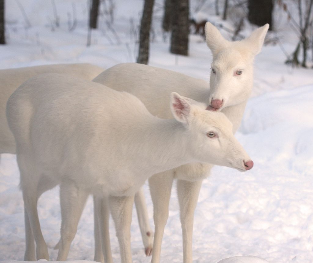 12. Albino Whitetail Deer Tender Loving Care by Michael