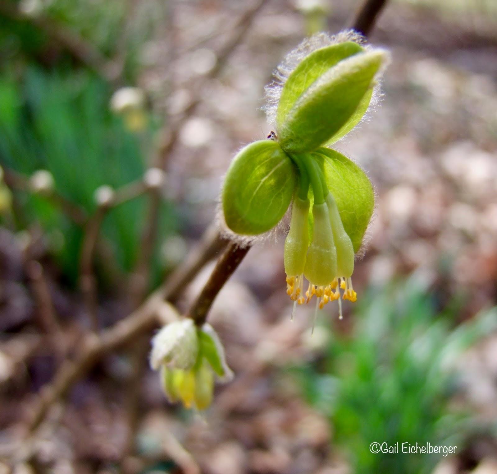Clay And Limestone Wildflower Wednesday Dirca Palustris