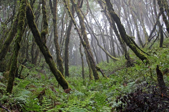 Nebelwald auf La Gomera