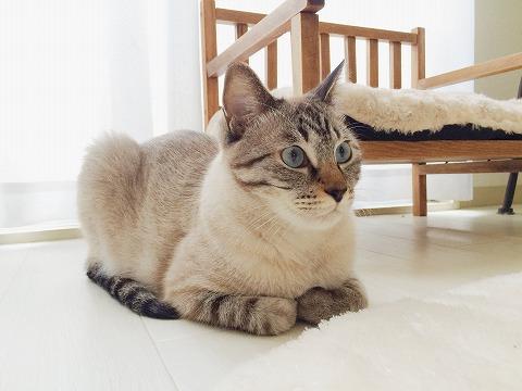 香箱座りしてるシャムトラ猫