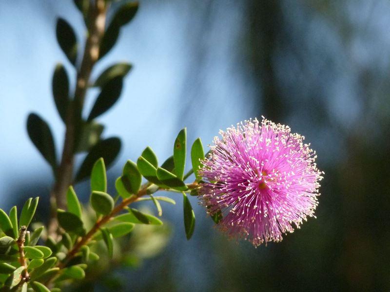 Nesophila melaleuca. Jardin plantas clima mediterráneo (Domaine du Rayol) diseño: Gilles Clement