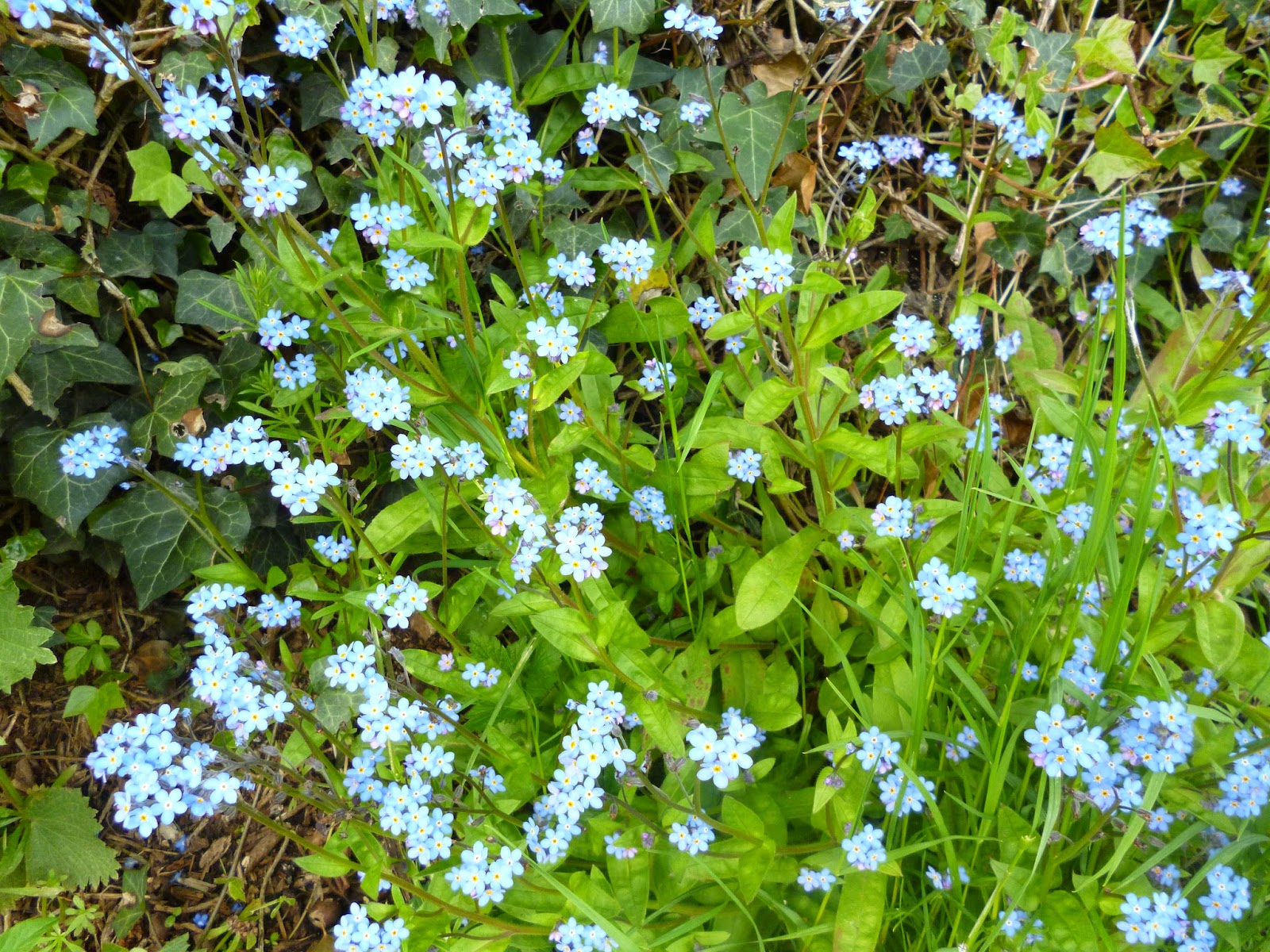 wild forget me nots