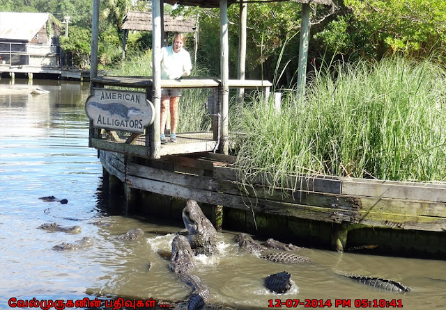American Alligators North Myrtle Beach Live Feeding