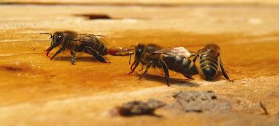 Facts of honeybee