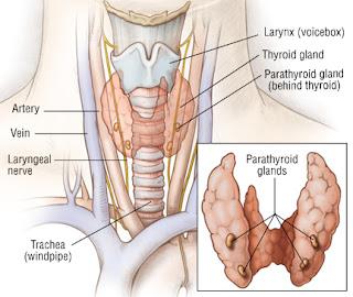 glande paratiroide