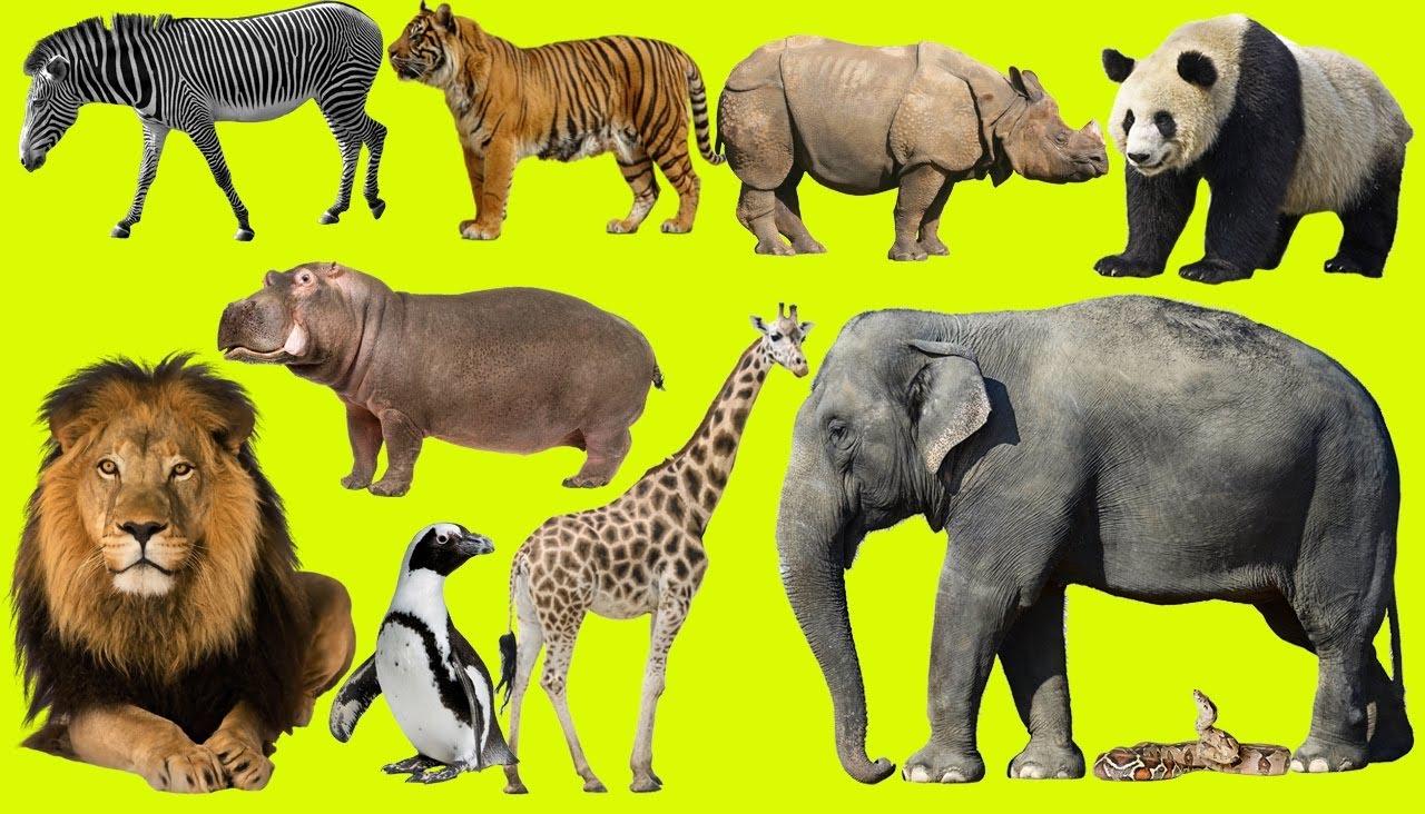 Image of: Animal Kingdom Pengertian Dari Kingdom Animalia hewan Adalah Kelompok Taksa Yang Memiliki Ciri Khusus Dibandingkan Dengan Kingdom Yang Lain Ciriciri Kingdom Animalia Generasi Biologi Klasifikasi 35 Filum Dalam Kingdom Animalia hewan Generasi Biologi