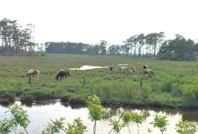 Assateague Island - Wild Horses and Ponies