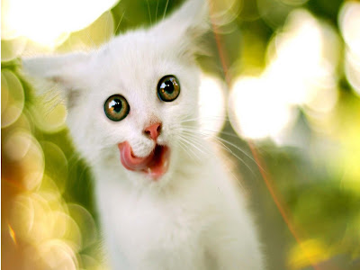 white-cute-cat-sucking-its-mouth-with-its-tounge