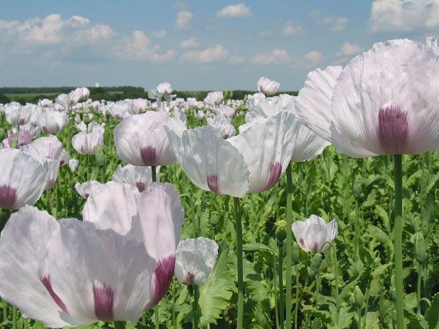 Cây Thuốc Phiện hoa màu trắng - Papaver somniferum - Nguyên liệu làm thuốc Chữa Ho Hen