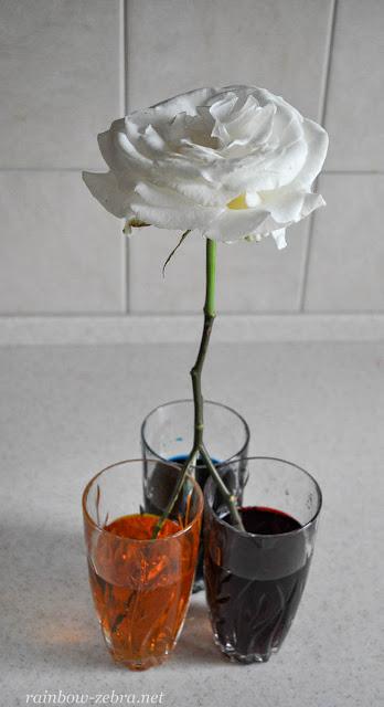Красим розу сразу 3-мя цветами