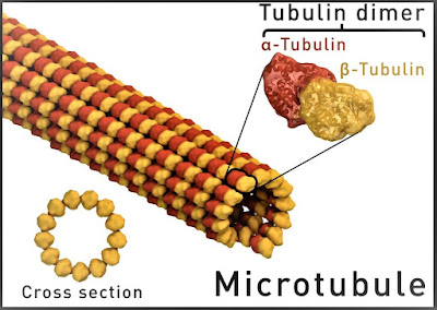 gambar mikrotubulus