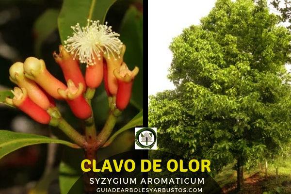 Árbol del clavo de olor de la familia Mirtáceas es una especie originaria de Indonesia