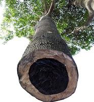 Abanoz ağacının kesilmiş gövdesinin bir görüntüsü