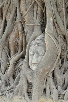 Cabeza de Buda cubierta por árbol.