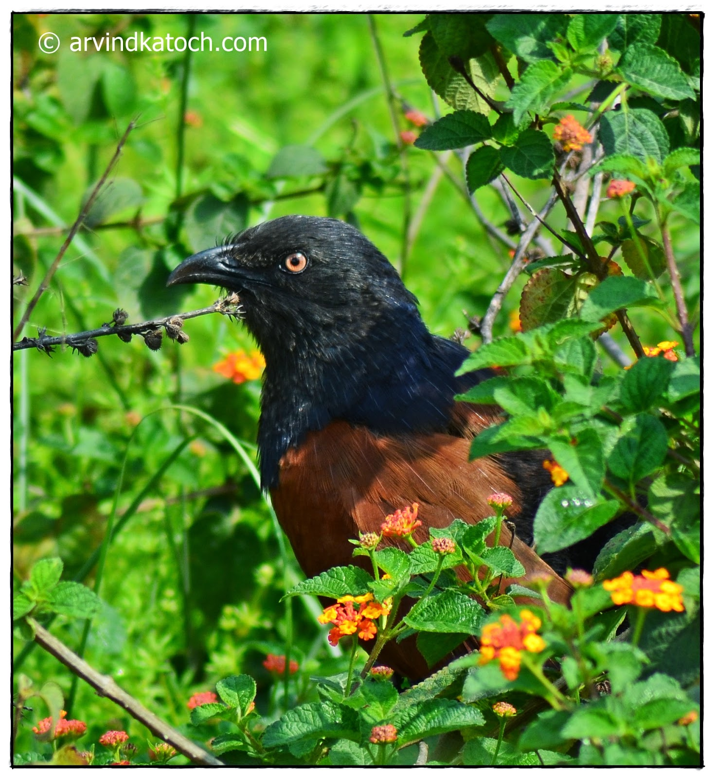 Greter Coucal, Face,