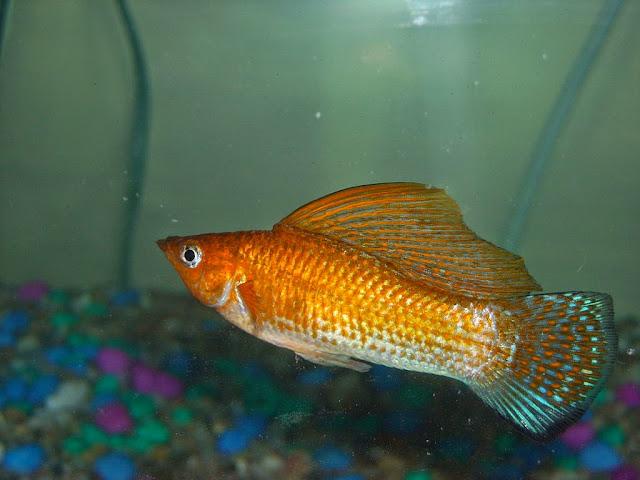 Dunia Ikan Hias - Yucatan Molly