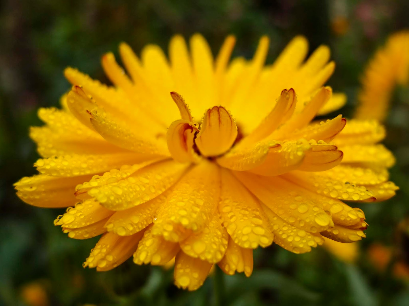A close up of rain drops on the petals of a yellow Calendula flower.