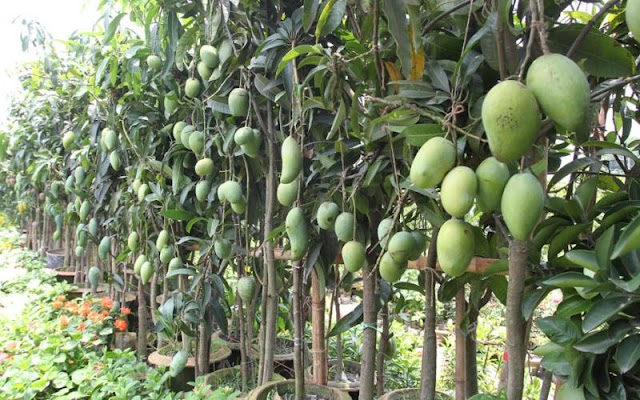 Mango Farming Process