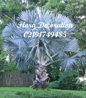 harga jual palm bismarkia murah
