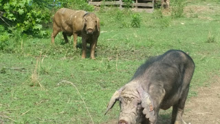 Meishan pigs are a heritage pig breed perfect for small farmers!