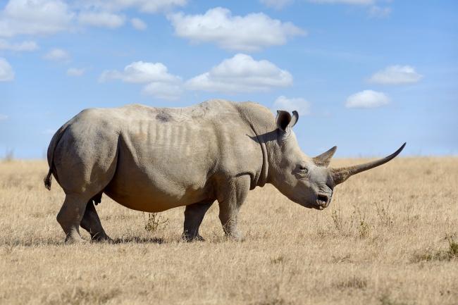 Chifre de rinoceronte