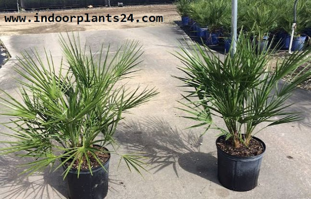 Chamaerops Humilis Palmae European Fan Palm picture