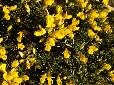 An image of common gorse (Ulex europaeus) on the Mull of Galloway