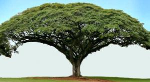 Pohon trembesi tanaman peneduh