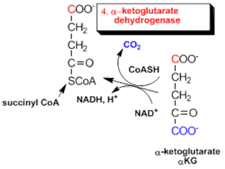 World of Biochemistry (blog about biochemistry): Krebs
