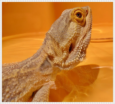 bearded dragon health