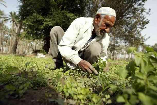 رجل عجوز  يزرع البطاطس An old man planting potatoes