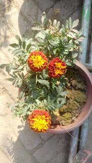 Marigold Flower 2109