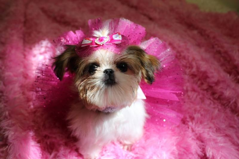 Small Dogs For Sale Edmonton
