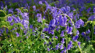 Los jacintos de la discordia. Bosques de bluebells británicos
