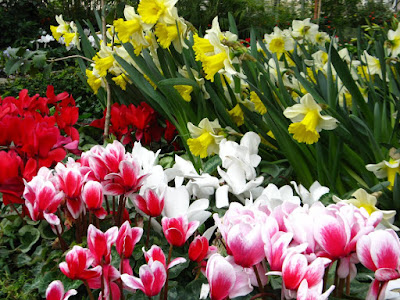 Allan Gardens Conservatory Spring Flower Show 2012 white daffodils and pink cyclamen by garden muses: a Toronto gardening blog