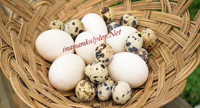 Bıldırcın Yumurtası Mı Tavuk Yumurtası Mı? - inanankalpler.net