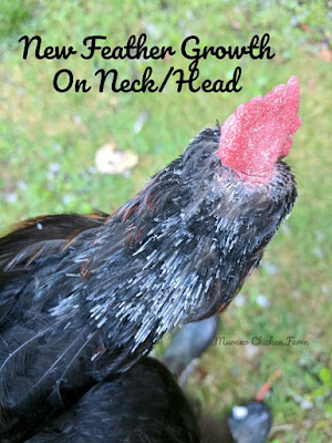 molting hens do not lay eggs.