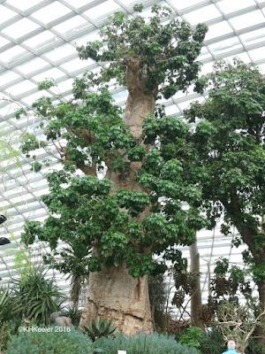 baobab, Singapore