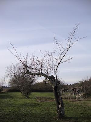 Notre cerisier bigarreau Napoléon tient bon...