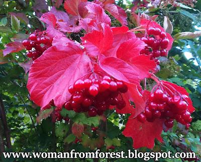 http://womanfromforest.blogspot.com/2016/09/kalina-koralowa-viburnum-opulus-rosliny.html