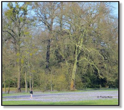 Krokuswiese im Wörlitzer Park