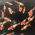 Featured - Individually Priced Koi