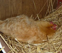 broody buff orpington pullet
