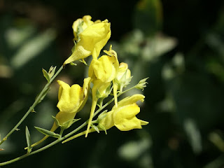 Linaire de Dalmatie - Linaria dalmatica