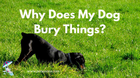 why dogs bury